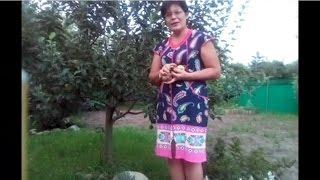 видео Парша яблони и груши. Симптомы болезни - коричневые пятна на листьях и яблоках и грушах. Меры борьбы с болезнью яблони и груши.