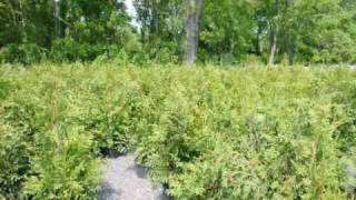 Red Japanese Maple Trees  Grown in Bucks County