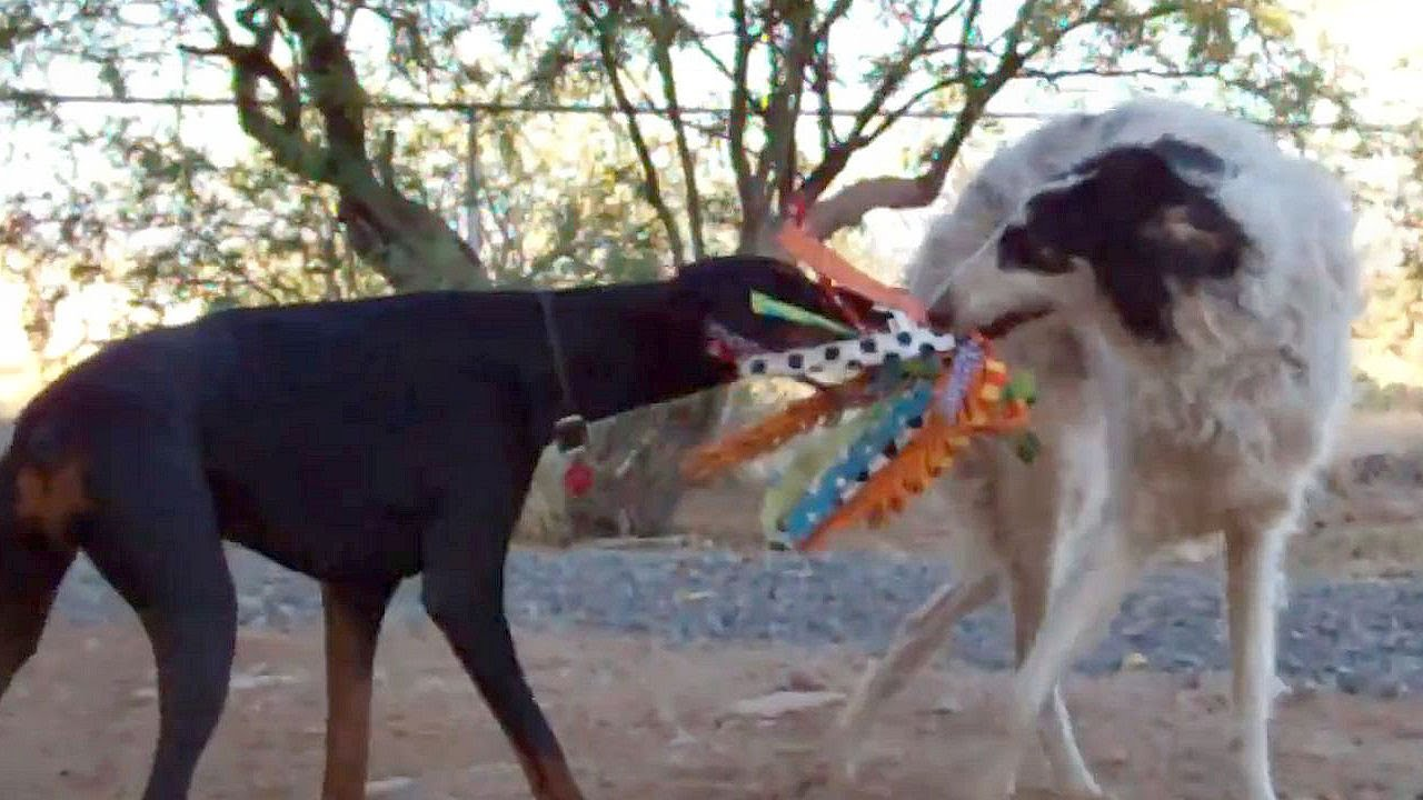doberman and borzoi play tugofwar youtube