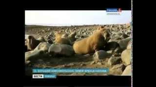 """На территории федерального заказника """"Земля Франца-Иосифа"""" обнаружены два новых лежбища моржей"""