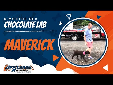 maverick-|-puppy-training-|-washington-dc-dog-trainer-|-off-leash