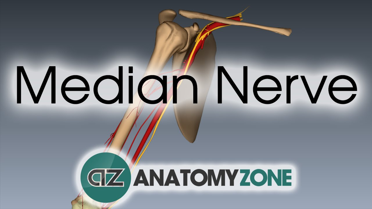 Median Nerve | 3D Anatomy Tutorial - YouTube