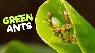Weaver Ants | The Guardians of the Canopy