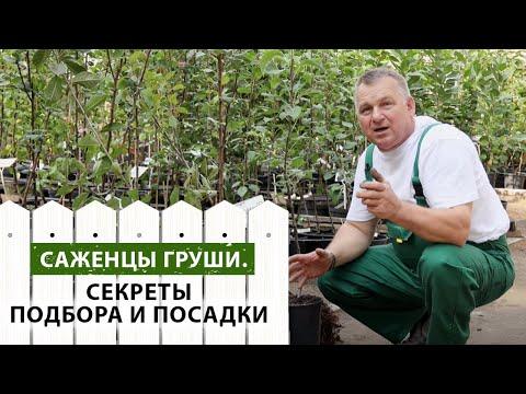 Саженцы груш. Секреты подбора и посадки