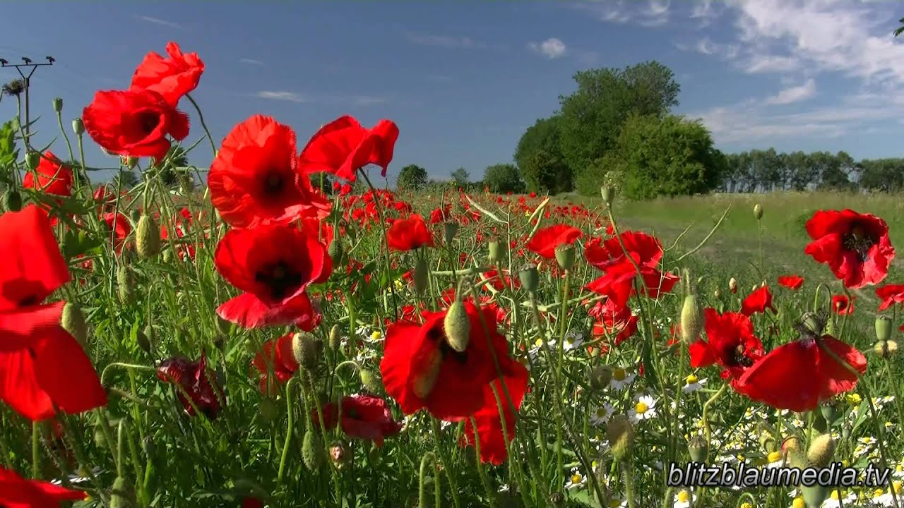 Stock Footage Europe Germany Mecklenburg Nature Poppy