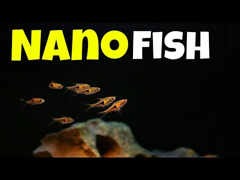 Introducing Our Nano Fish - 10 Species Of Nano Fish