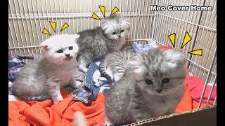Kittens Play Each Other So Funny When Mother Cat's away From Home | Meo Cover Home !