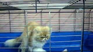 قطه للبيع شيرازي همالاي تزاوج  قطط انثى ذكر www.3rabpet.com