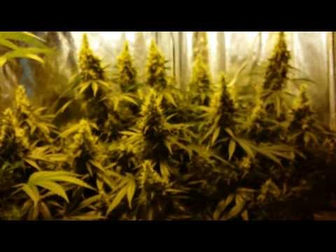 Perpetual 4×2 Grow Tent – Ep.7 Day 43 Flowering – Blowing UP!
