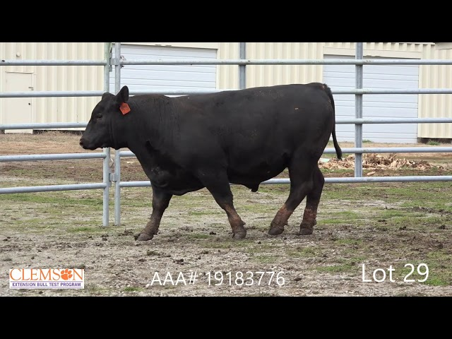 Clemson Extension Bull Test Lot 29