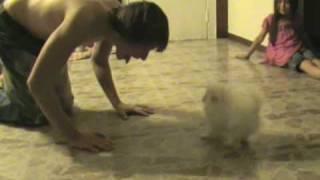 Cute Baby Pomeranian Puppy !!!