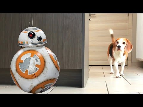 Sphero BB-8 Droid Pranking My Dogs : Funny Beagle Dogs Louie & Marie