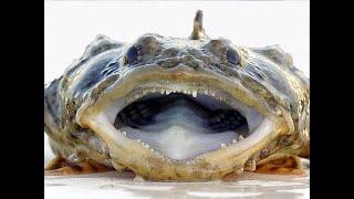 Самая опасная Рыба - камень, Рыба-жаба. Animals & fish.