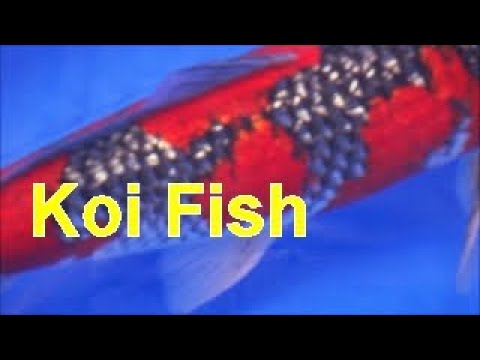 must see video all japan koi show world best koi fish