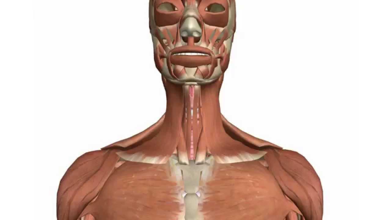 3D] Músculos del cuello - Infrahioideos - YouTube