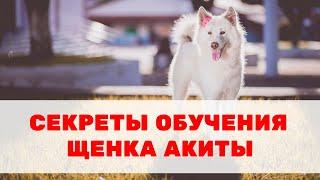 Секреты обучения и воспитания щенка акиты. Особенности породы