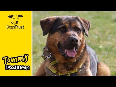 Tommy, the Handsome German Shepherd/Rottweiler Crossbreed | Dogs Trust Salisbury