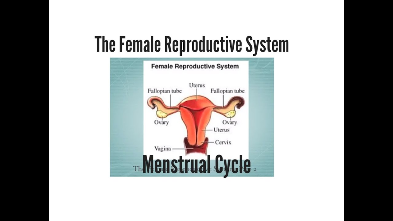 Female Reproductive System Menstrual Cycle Youtube