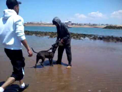 Bien connu pitbull maroc - YouTube EB17