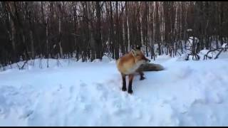 Голодная лиса просит кушать