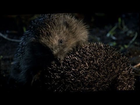 Hedgehog Mating Fail - The Great British Year: Episode 3 Preview - BBC One
