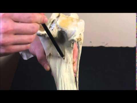 Большеберцовая кость — Википедия