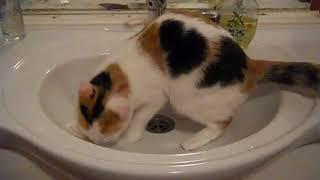 Кошка писает в раковину caty in tualet