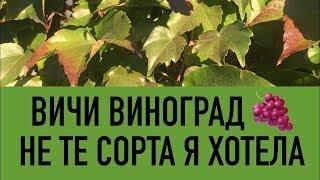 вИНОГРАД ВИЧИ - СОВСЕМ НЕ ТЕ СОРТА Я ХОЧУ.. Как выбрать, купить сорт винограда. Посадка, выращивание