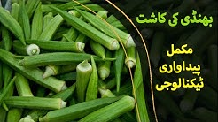 Bhindi Tori ki Kasht - Okra Cultivation - بھنڈی کی کاشت, Agriculture in Pakistan