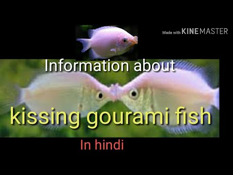 Information About Kissing Gourami Fish