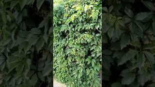 видео Девичий виноград уход и выращивание