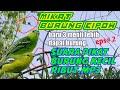 Mikat Burung Cipoh Dengan Suara Pikat Burung Kecil Ribut  Mp3 - Mp4 Download
