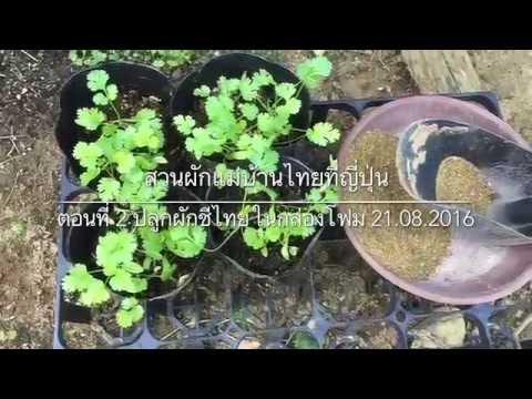 ผักชีไทย : ตอน 2 ปลูกผักชีไทยในกล่องโฟม 21.08.2016
