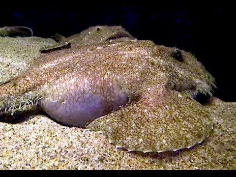 キアンコウ Yellow goosefish Lophius litulon - YouTube