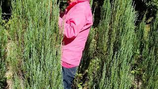 #스카이로켓향나무  1,5~ 150주 밭정리로 가격저렴…