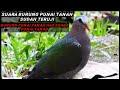 Suara Pikat Burung Punai Tanah Panggil Manten Gratis(.mp3 .mp4) Mp3 - Mp4 Download