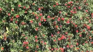 Bottlebrush Hedge
