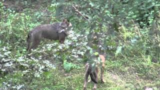 I lupi di Civitella Alfedena