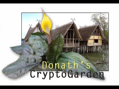 Cryptocoryne x purpurea Rideley - DonathsCryptoGarden Nr.64
