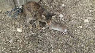 Кошка и крыса. Драка.