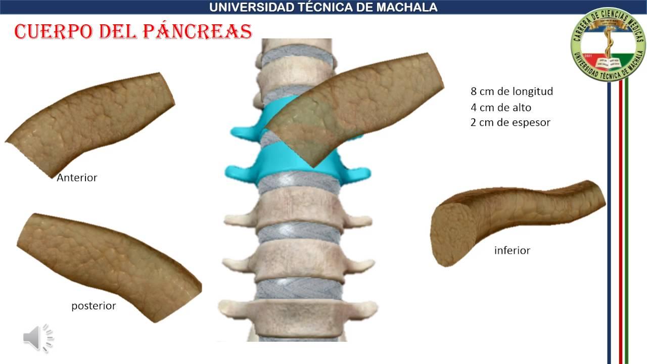 Anatomía Del Páncreas - Proyecto De Anatomía - YouTube