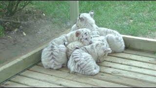 Пять белых «гор»: в китайском зоопарке показали детёнышей белоснежного бенгальского тигра