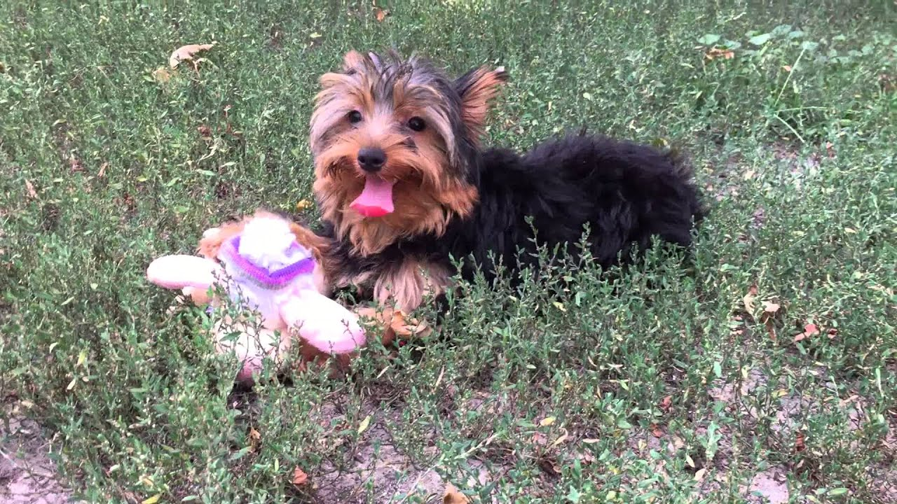 Titch 5 Months Old Yorkshire Terrier Puppy Youtube