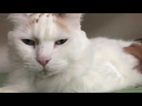 A Day With Turkish Van Cat