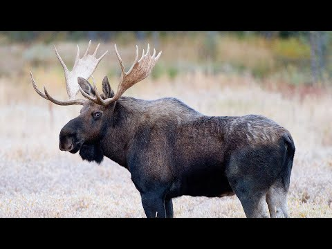 Yellowstone & Grand Tetons Fall Wildlife