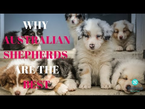 Why Australian Shepherds Are The Best
