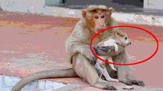 Брошенного умирать щенка! спасла обезьяна, она очень заботливая мама