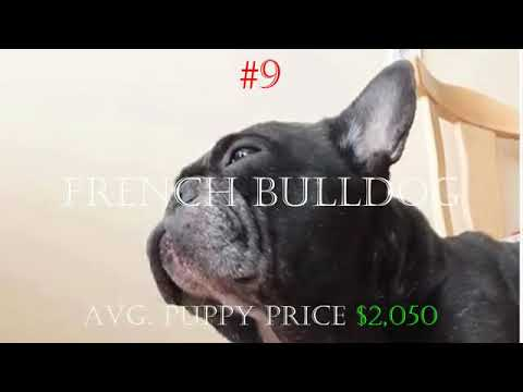 20 Most Expensive Dog Breeds in the world