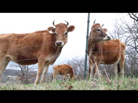 Feast TV: Cool Cow Cheese