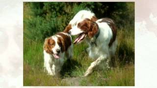 Springer Spaniel Temperament